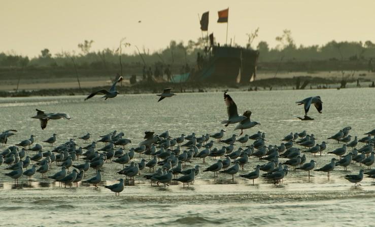 seagull at dublar chor area in sundarban