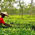 srimangal tea garden