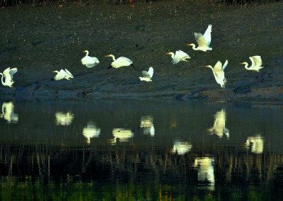 a group white birds in sundarban