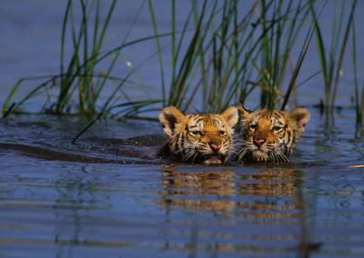 bengal tiger cubs swimming