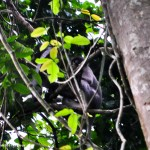Black faced monky in lawachora forest in srimangal