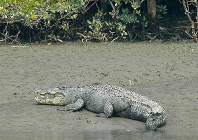 Crocodile in Harbaria