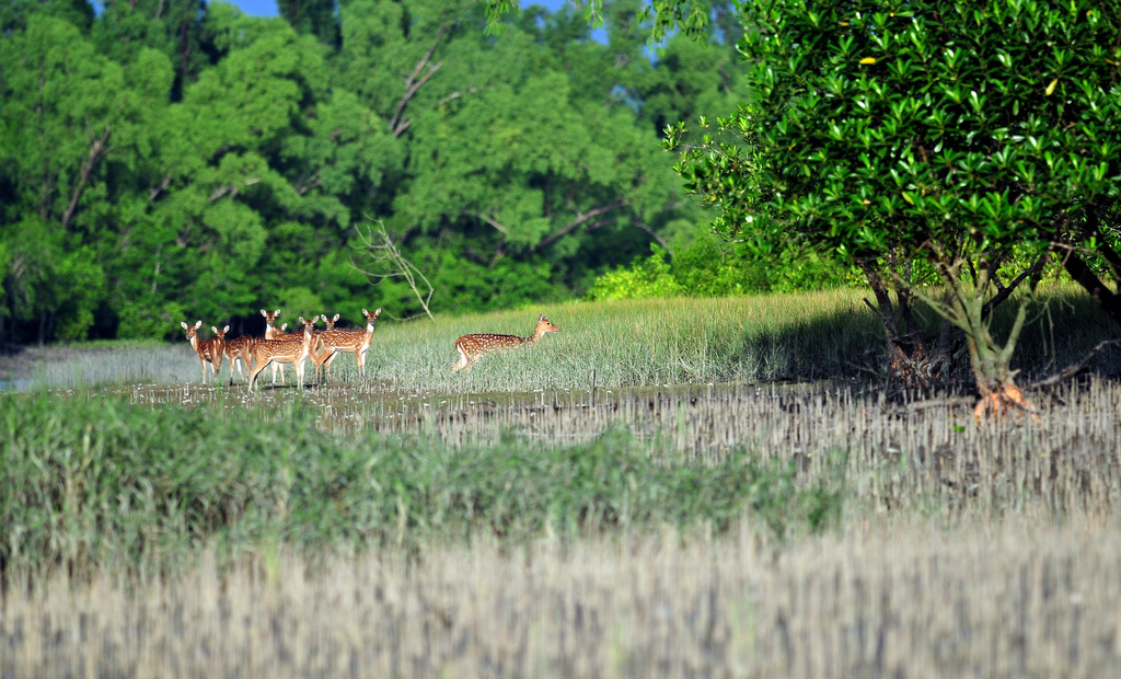 Jamtola area in sundarban you will find spotted dears
