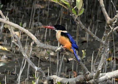 There are verity of King fisher in sundarban