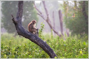 Monkey in sundarban can come even closer