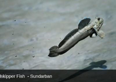 mud fish will jump around in sundarban