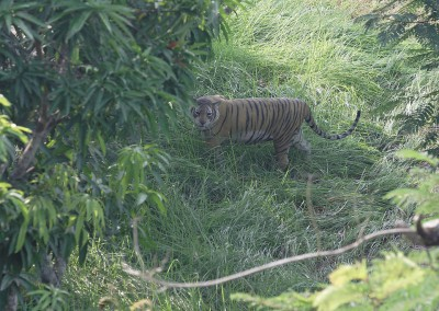 Royal bengal tiger from watch tower
