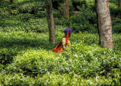 Saothal lady plugging tea lief in tea garden