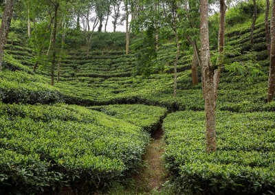 Tea Garden in Srimangal