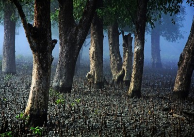 The silence of forest in sundarban