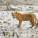 The tiger calf walking in the morning in sundarban