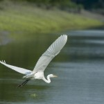 white crane in sundarban