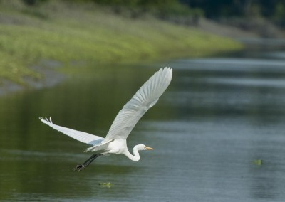 white crane flying low over cannels in sundarban