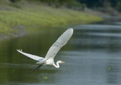 white crane in sundarban