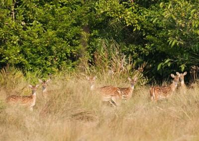 deer in the bush in sundarban tour