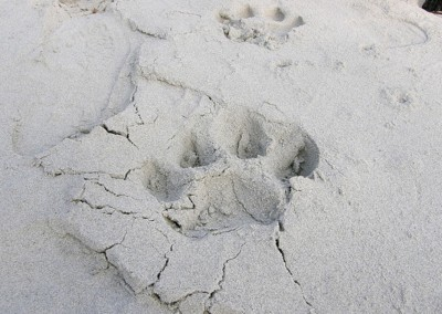 foot steps of tiger in beach