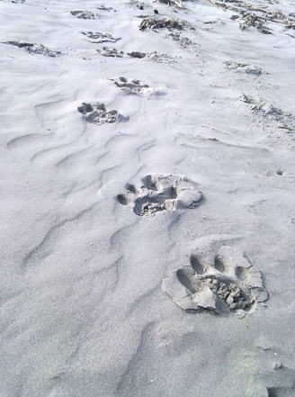 foot steps of tiger in beach area