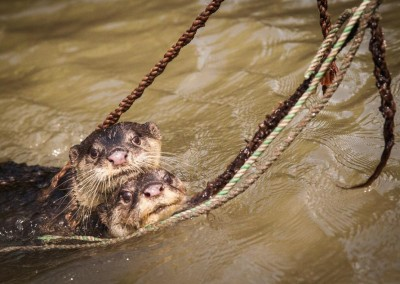 Otter running after fish in chitra river