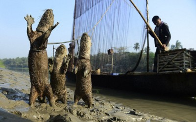 Experience Fishing with Otter in Bangladesh