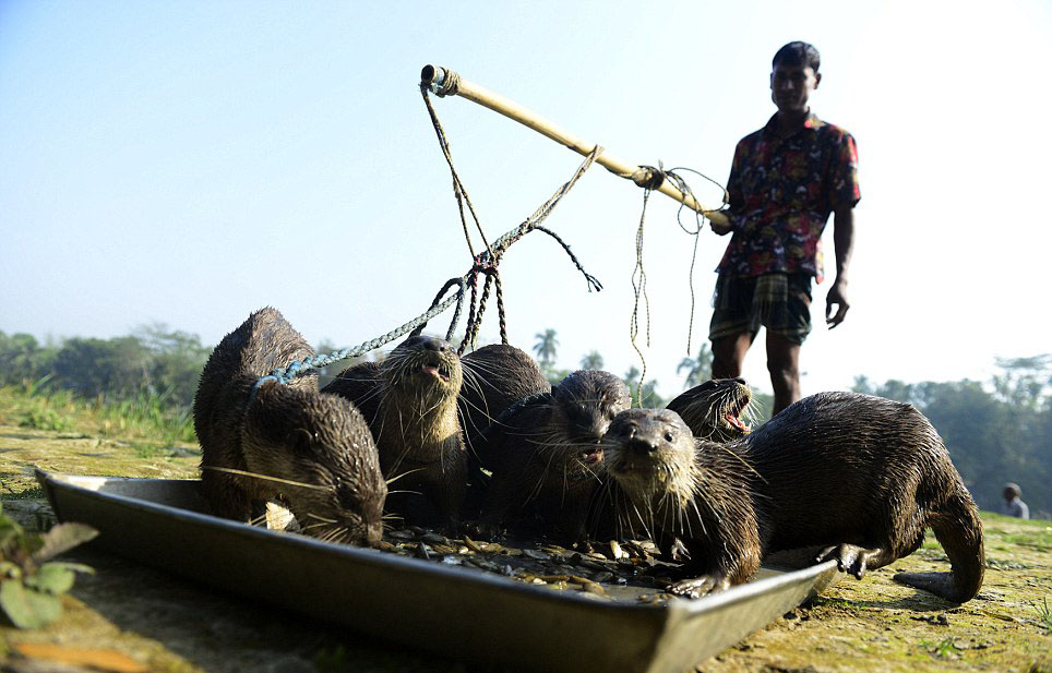 Experience unique Otter Fishing in Bangladesh
