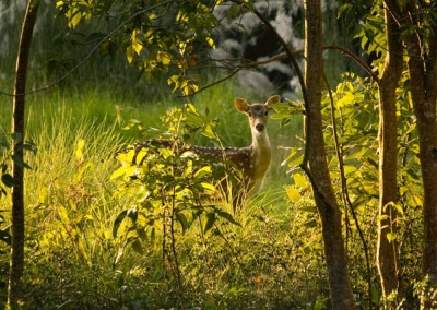 deers-in-sundarban-morning