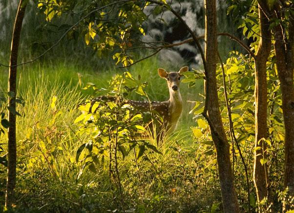 deers in Sundarban morning